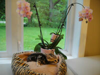F7 savannah kitten with cat tree!!! REDUCCED!!!