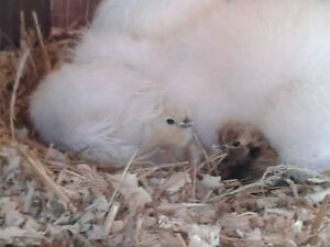 Week old Silkie Chickens for sale