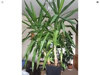 LARGE 55 INCHES SPINELESS YUCCA ELEPHANTIPE EVERGREEN INDOOR HOUSE OFFICE PLANT IN POT