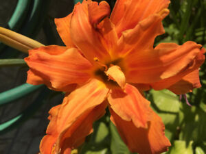 Triple Petal Frilly Day Lily