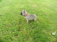 Kc reg chunky French bulldog pups
