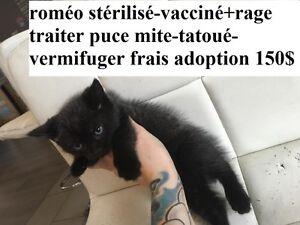 roméo petit male de 3 mois stériliser vaccinée + rage +++