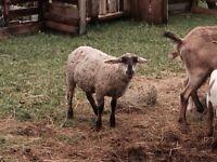 Lamb and goat