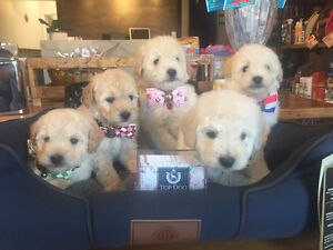 Cute Pure breed Creamy Poodles