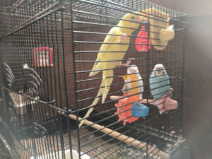 3 Mature Female Budgies Parakeets with Cage and Accessories