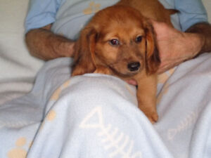 Mini Dachshund | Kijiji in Ontario  - Buy, Sell & Save with Canada's