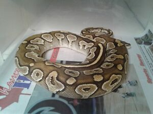 ball pythons for sale or trade