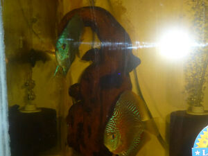 2 pairs of proven discus fish London Ontario image 4
