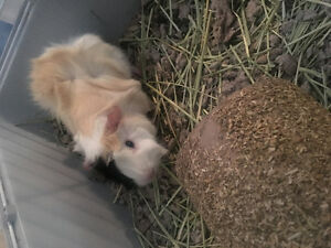 Young Female Guinea Pigs with everything