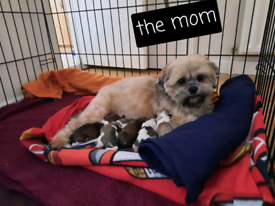Zuchon/teddy bear pups,shih tzu bishon cross puppies