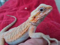 #3 femelle dragon barbu hypo translucide*******bearded dragon
