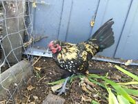 Mixed Bantam Rooster chickens for free