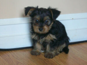 6 adorable morkie puppies just in time for easter
