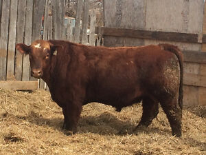 Yearling and Two year Old Bulls For Sale