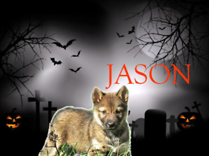 Haunting Halloween Husky pups now ready for their new homes