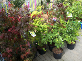 Very large acer trees 3 to 4ft