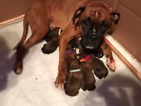 High pedigree Boxer puppies forsale