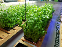 Fresh herbs Any 2 for $5.00 or 5 for $10.00