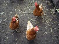 4 chickens for sale