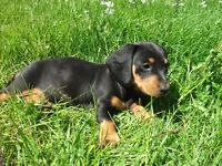 3 Dachshunds Looking For Their Forever Homes