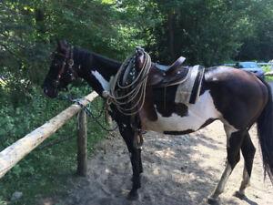Paint Horse enregistrée