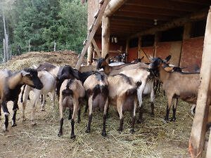 Dairy Goats/ bred and unbred does and breeding bucks for sale Prince George British Columbia image 9
