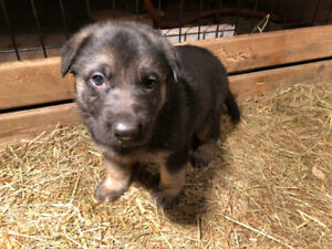 Selling German Shepherd puppies. Amazing gift for Christmas!