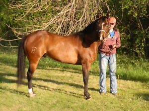 Sunfrost Cocoa 6-year-old Bay Stallion Standing at Stud in 2016.