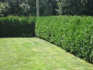 ***FALL SPECIAL ON NOW !!!!!*** Eastern white cedar trees !!! Peterborough Peterborough Area image 4