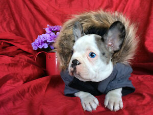 Rare Blue on Blue Pied French Bulldog Male Puppy Available.