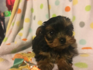 CKC registered teacup yorkies ready for a new home
