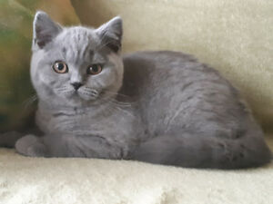 BRITISH SHORTHAIR registered TICA .