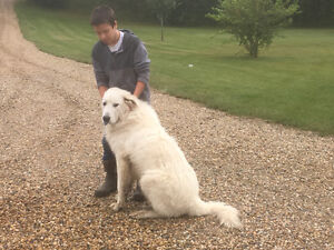 ! year old Male Maremma free to a good home