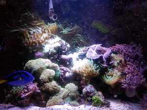 Bubble tips anemones