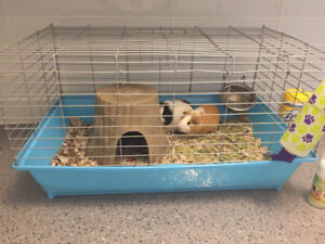 Guinea pigs with cage and more