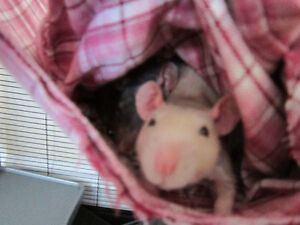 Two Young Adult Female Rats with Cage and Supplies
