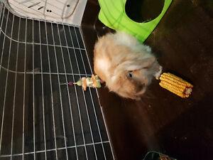 Lapin nain bélier 7mois avec cage équipée