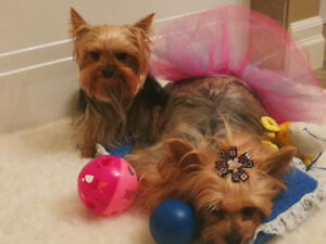 PB Yorkshire terriers aka Yorkie ckc-all puppies found homes