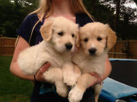 3/4 golden retreivers 1/4 great prynese puppies