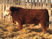 Simmental Bulls 4 sale
