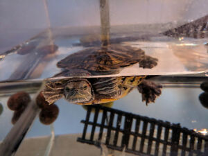 Red Eared Slider Turtle + 12 Gallon Tank + Water Filter