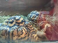 For sale a pair of leopard tortoises