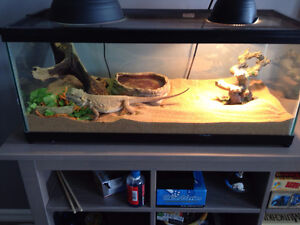 FREE 7 Yr old Bearded dragon c/w Tank and all accessories