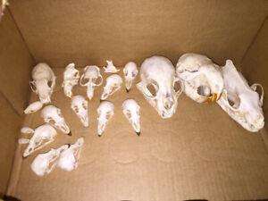 Animal Skull | Kijiji in Alberta  - Buy, Sell & Save with