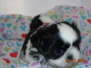 *~Exquisite Shih Tzu puppies available now~*
