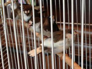 Chocolate Pied society finches