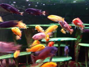 poissons cichlide africain montreal metro piexI