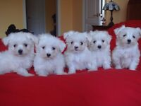 A+ Toy Size Maltese Puppies