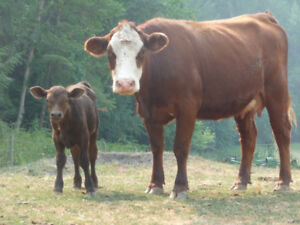Heifers, Cows, Bulls for sale