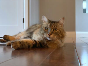 Lost Brown Tabby Girl